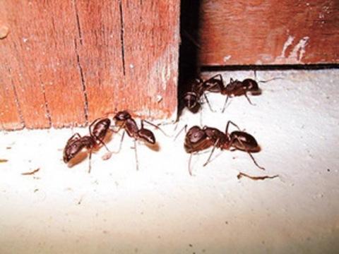 Травить муравьев в домашних условиях