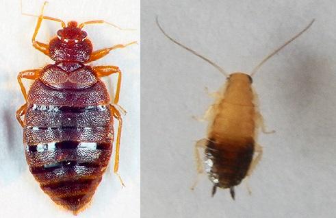 Отличия клопа от личинки таракана