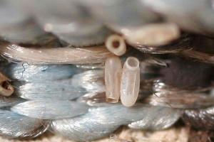Яйца клопов в ворсинках ковра