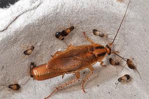 Взрослый таракан и личинки