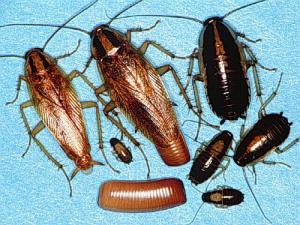 Различие между черными и рыжими тараканами