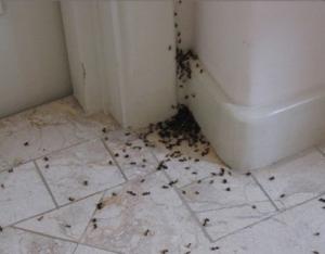 Профилактика появления муравьев в квартире