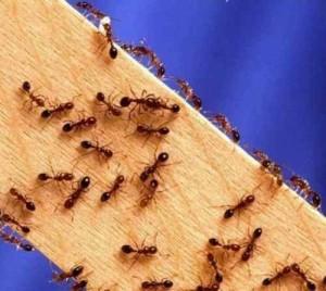 Откуда берутся муравьи в квартире