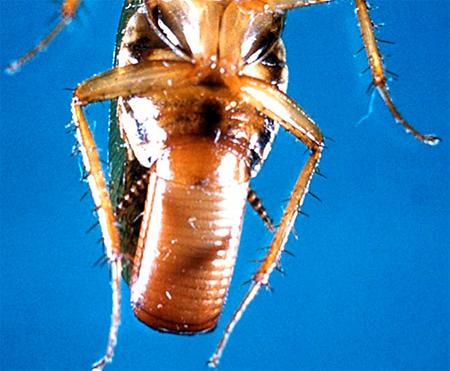 Самка таракана с оотекой