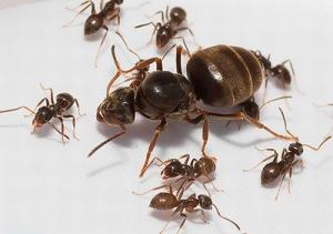 Матка муравья с рабочими