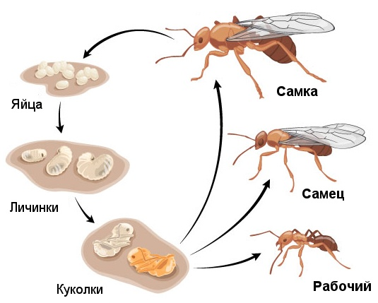 Ant Control Types Facts Get Rid of Ants  Orkincom