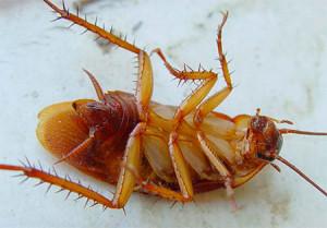 При какой температуре гибнут тараканы