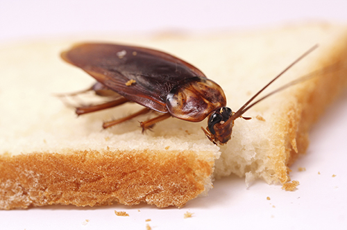 Тараканы - переносчики инфекций