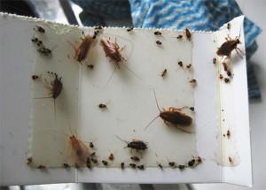 Липкая самодельная ловушка от тараканов