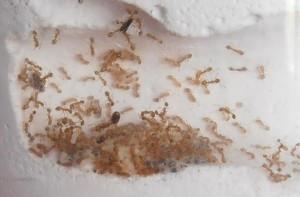 Борьба с муравьями домашними способами