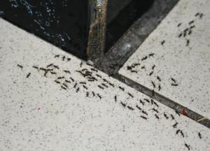 Где живут муравьи в квартире