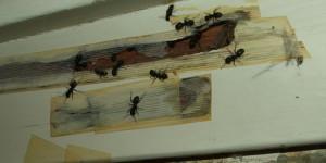 Что делать при обнаружении муравьев