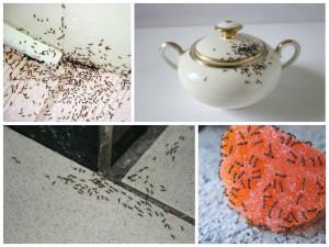 Чем опасны муравьи в квартире