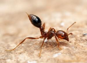 Огненный красный муравей