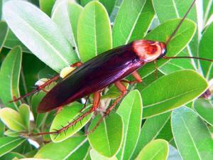 Американский таракан