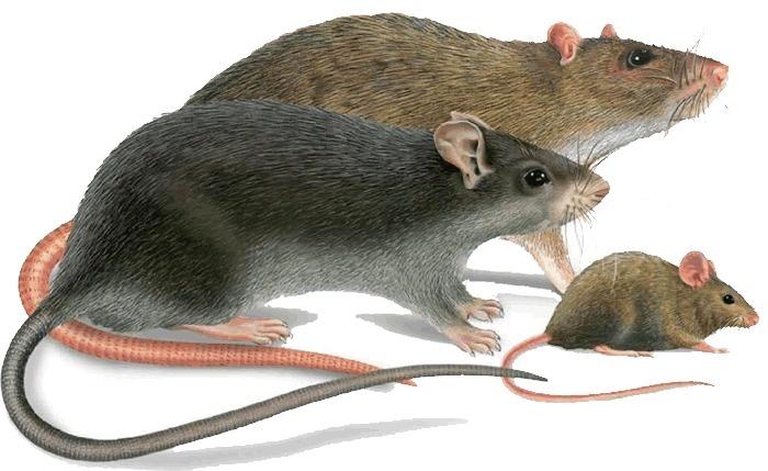 как бороться с мышами в частном доме видео