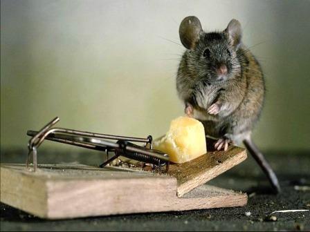 Борьба с мышами в домашних условиях народными средствами