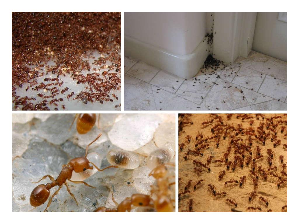 Как вывести муравьев из квартиры в домашних  652