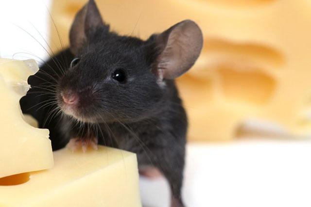 Заговоры против мышей чтобы ушли из квартиры