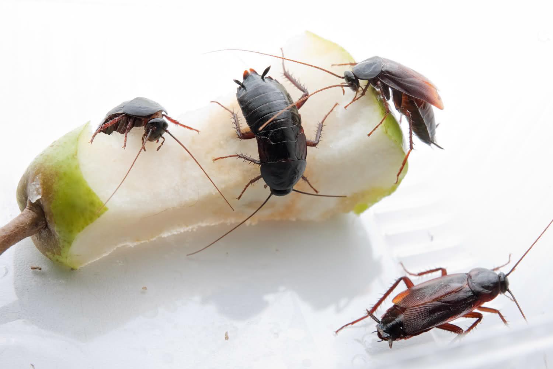 Чем вывести тараканов в домашних условиях быстро 954