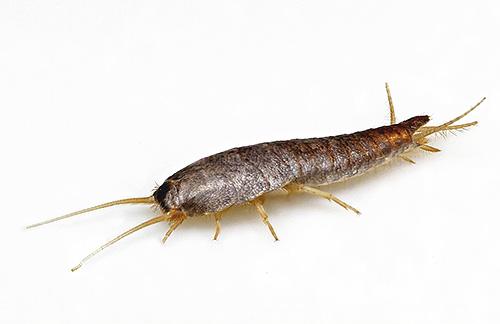 насекомые живущие в квартирах фото