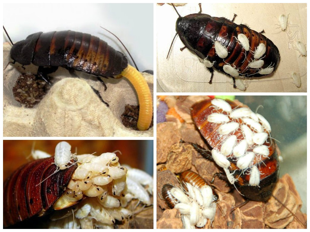 фото как размножаются тараканы